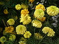 Marigold from lalbagh 1849.JPG