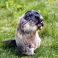 Marmota marmota 04.jpg