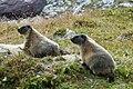 Marmots in Switzerland.jpg