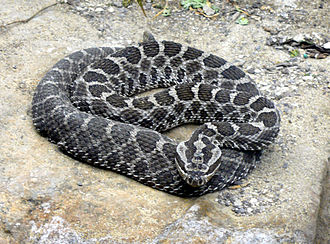 Massasauga - S. catenatus, St. Louis Zoo