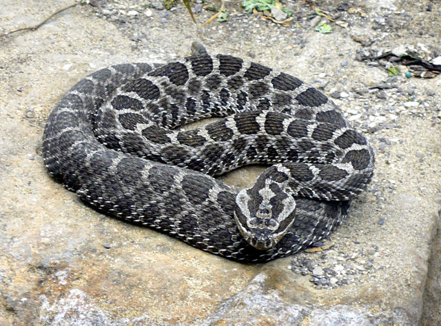 """Massasauga rattlesnake"" by Tim Vicekrs - St Louis zoo, self-made. Licensed under Public domain via Wikimedia Commons - https://commons.wikimedia.org/wiki/File:Massasauga_rattlesnake.jpg#mediaviewer/File:Massasauga_rattlesnake.jpg"