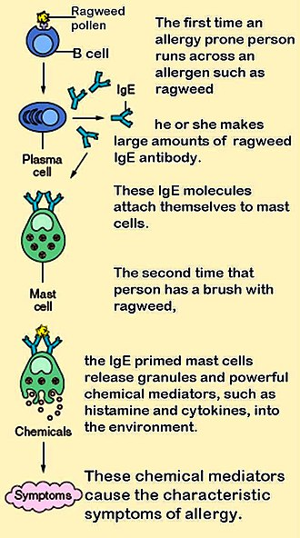 Immunoglobulin E - The role of mast cells in the development of allergy.