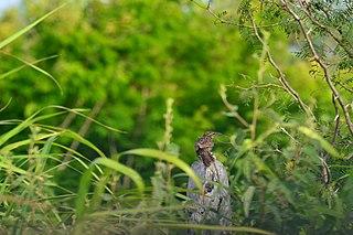Yucatan wren Species of bird endemic to Mexico
