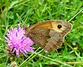 Meadow Brown. Maniola jurtina - Flickr - gailhampshire (3).jpg