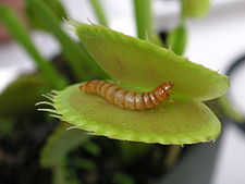Meal worm in venus fly trap.jpg