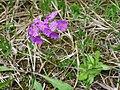 Mehlprimel (Primula farinosa) 02.jpg