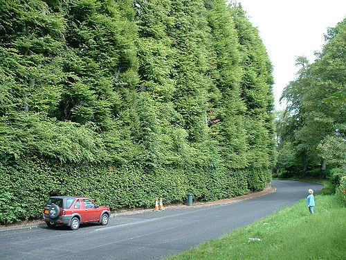 The Meikleour Beech hedge (Fagus sylvatica)