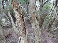 Melaleuca croxfordiae (bark).JPG