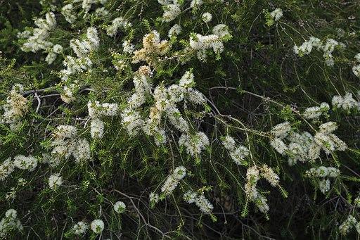 Melaleuca lanceolata (32512995941)