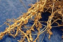 fonálféreg-fertőzés