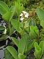 Menyanthes trifoliata Bobrek trójlistkowy 2010-05-15 06.jpg