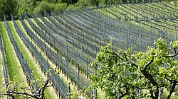Meride-Vineyards1.jpg