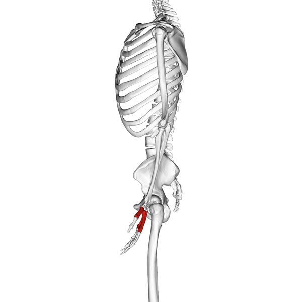 File:Metacarpal bones 03 radial view.png