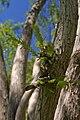 Metasequoia glyptostroboides leaves and bark.jpg