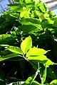 Michelia champaca 1zz.jpg