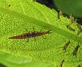 Micromus.aphids.1.jpg