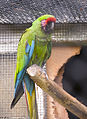 Military Macaw (Ara militaris) -London Zoo.jpg