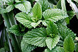 Mint leaves.jpg