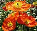 Mohn Blumen - panoramio - Baden de (1).jpg