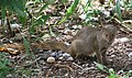 Mongoose 1 (30007091834).jpg