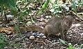 Mongoose 1 (30007091834).jpg