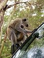 Monkeys on a car in Kenya.jpg
