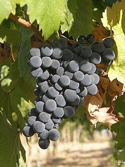 Kiść winogron montepulciano