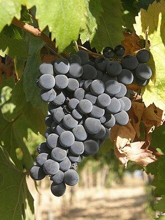 Montepulciano (grape) - Montepulciano growing in Abruzzi.