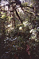 Moss forest in Finisterre Range, Papua New Guinea - ZooKeys-246-027-g001.jpeg