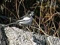Motacilla alba lugensP1043483ハクセキレイ,白鶺鴒.jpg
