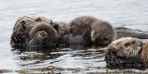 Mother sea otter with rare twin baby pups (9137187459)
