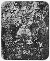 Moths of the British Isles Fig08.jpg