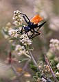 Mount Graham Tarantula Hawk Wasp.jpg