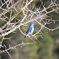 Mountain bluebird 2.jpg