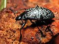 Mt. Lemmon Pleasing Fungus Beetle on Orange Mushroom - Flickr - treegrow.jpg