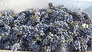 Winemaking - Harvested Cabernet Sauvignon grapes