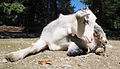 Munchen Zoo - goat 3.jpg