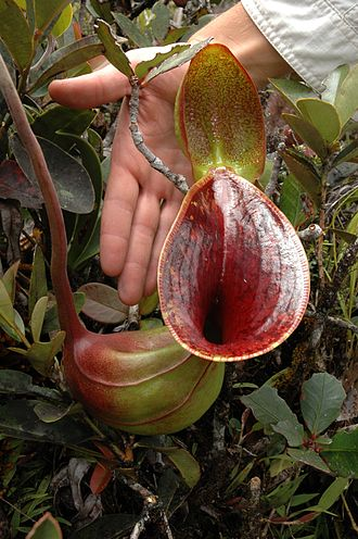 Nepenthes lowii - An upper pitcher