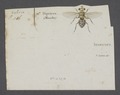 Musca - Print - Iconographia Zoologica - Special Collections University of Amsterdam - UBAINV0274 039 06 0042.tif
