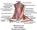 Muscle omo-hyoïdien1.png
