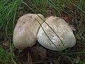 Mushroom poisonous 02.jpg