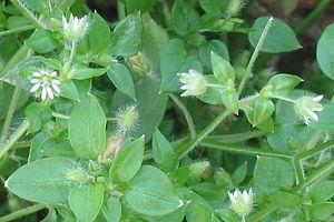 Plantas Selvagens Comestiveis 300px-Muur_bloem