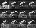 Muybridge, Eadweard - Indischer Marabu, geht (Zeno Fotografie).jpg