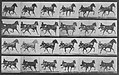 Muybridge, Eadweard - Nellie Rose mit Sulky (0.47 Sekunden) (Zeno Fotografie).jpg