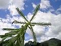 Myriophyllum aquaticum leaf1 (14650611375).jpg