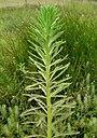 Myriophyllum aquaticum stem5 (14647365501).jpg
