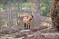 NSG LÜ 002 Lüneburger Heide, Dülmener Pferd im Radenbachtal, Gemeinde Egestorf, Landkreis Harburg 2.jpg