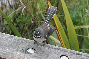 New Zealand fantail - New Zealand Fantail, west coast, South Island
