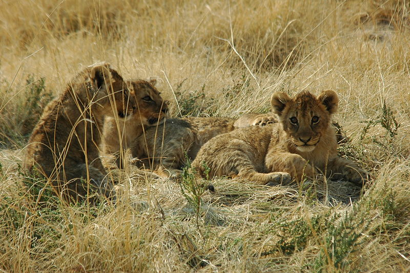 File:Namibie Etosha Lionceaux 01.JPG
