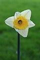 Narcis (Narcissus) 12.JPG